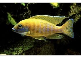 Paon jaune, Jaune, 6-7cm