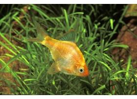 Barbus de Sumatra doré, Doré, 1-2cm