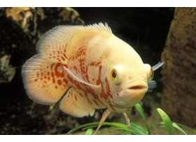 Oscar, Albinos, 5-6cm