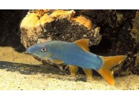Loche bleu, Botia modeste, Bleu, 5-6cm