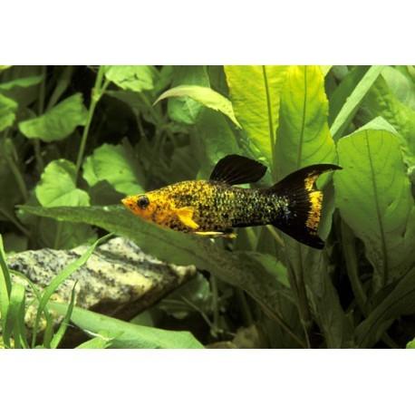 Molly, Paillété or lyre, 3-4cm