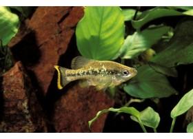 Ameca brillante, 3-5cm