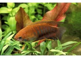Gourami à grosses lèvres, Orange et noir, 4-5cm