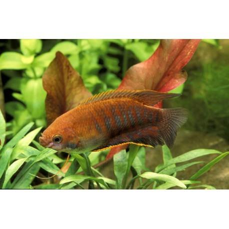 Gourami à grosses lèvres, Orange et noir, 6-7cm