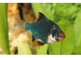 Barbus de Sumatra, Vert, 1,5-2cm