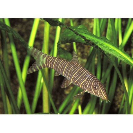 Botia striée, Brun noir, 5-6cm