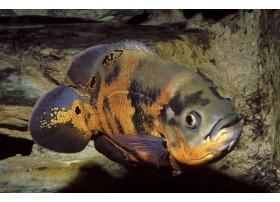 Oscar, Noir et orange, 12-15cm