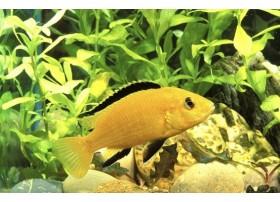 Labido jaune, Jaune, 3-4cm