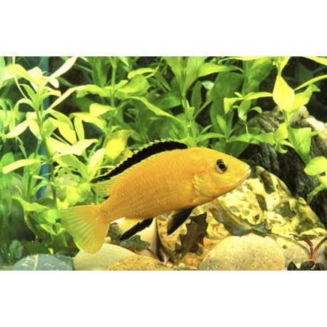 Labido jaune, Jaune, 6-7cm