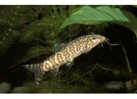 Loche réticulée, Argenté et noir, 3,5-4cm