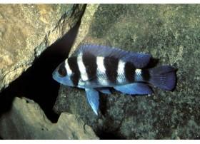 Neolamprologus tretocephalus, Gris et noir, 3.5 à 4cm