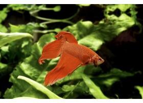 Combattant, Rouge, 5-6cm, Mâle
