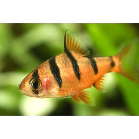 Barbus à 5 cinq zones, Orange et noir, 2-2,5cm