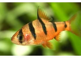 Barbus à 5 cinq zones, Orange et noir, 2,5-3cm