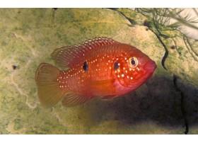 Cichlidé-bijou rouge-sang, 2,5-3,5cm