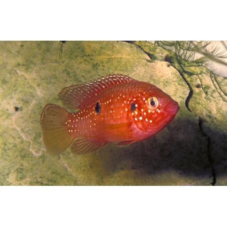 Cichlidé-bijou rouge-sang, 3,5-4cm