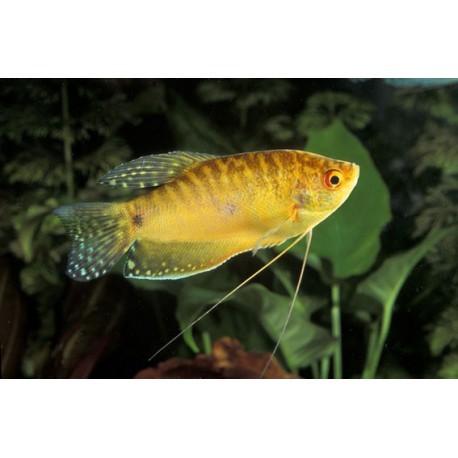 Gourami doré, Doré, 4-5cm