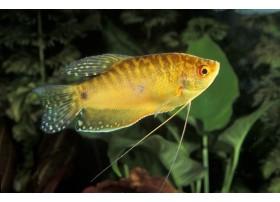 Gourami doré, Doré, 7-8cm