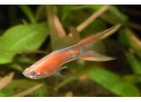 Guppy, Lyre rouge, 3,5-4cm, Mâle