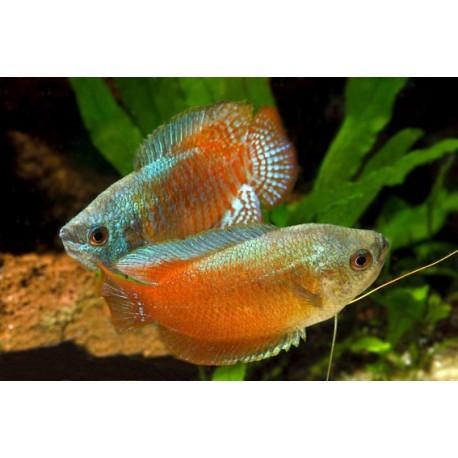 Colisa Lalia, gourami nain, Bleu et rouge, 4-4,5cm, couple