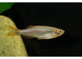 Danio kyathit, Zébré orange, 3 à 4cm