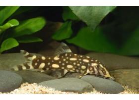 Loche Polka, Noir et jaune, 7-9cm