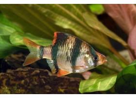Barbus de Sumatra, Rayé de bandes sombres, 1,5-2cm