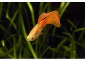 Guppy, Blonde rouge, + de 4,5cm, Mâle