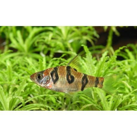 Barbus à peau de serpent, Doré et noir, 2-3cm