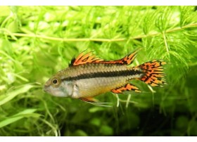 Apisto Cacatoès, Double rouge, 4-5cm