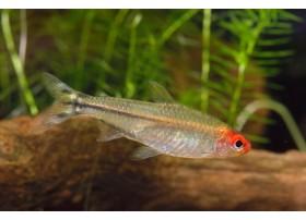 Nez rouge, Argenté et rouge, 2,5-3cm