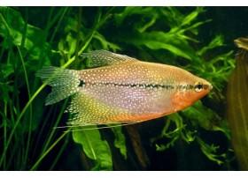 Gourami Perlé, Rouge orangé et moucheté, 4-5cm