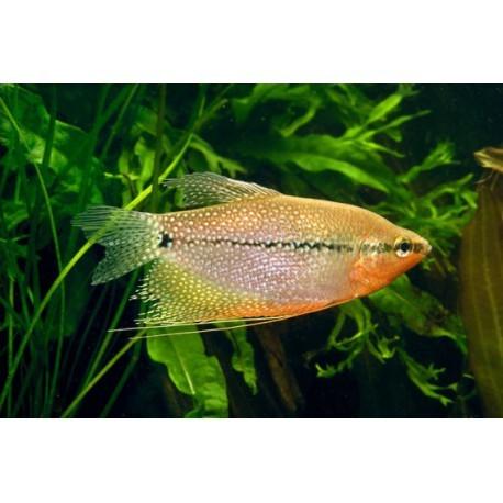 Gourami Perlé, Rouge orangé et moucheté, 5-6cm