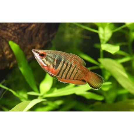 Sphaerichthys vaillanti, Red zebra chocolate, 4 à 6cm