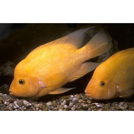 Citrinellum, Orange, 6-7cm
