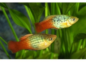 Platy-perroquet , Green rainbow