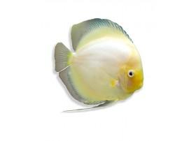 Discus , Snox white, 7-8cm
