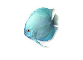Discus , Turquoise, 7-8cm