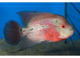 Flowerhorn Red dragon, Rouge, 6-7cm