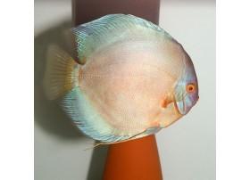 Discus , Diament perle, 9-10cm