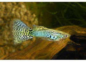 Guppy, Mosaïque bleu, + de 4,5cm, Mâle