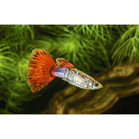 Guppy, Mosaïque rouge, 3,5-4cm, Mâle