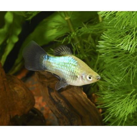 Platy, Wagtail bleu, 3-3,5cm