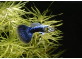 Guppy, Bleu moscou, 3,5-4cm, Mâle