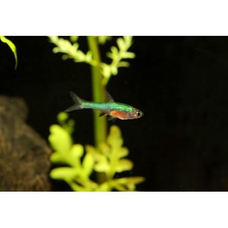 Sundadanio axelrodi, Bleu et rouge, 1cm