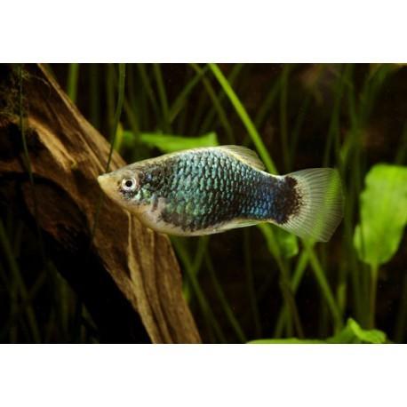 Platy, Texudo bleu, 3-3,5cm