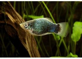 Platy, Texudo bleu, 3,5-4cm