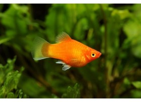 Platy, Orange brillant, 3-3,5cm