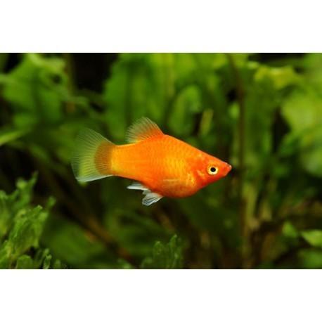 Platy, Orange brillant, 3-3,5cm