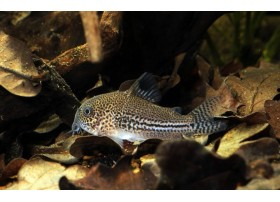 Cory léopard, Léopard, 2,5-3cm